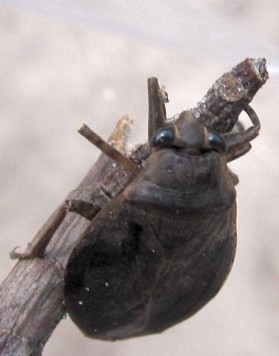 giantaquaticwaterbug1