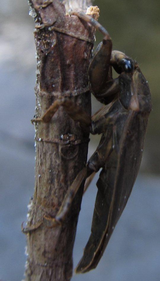 giantaquaticwaterbug2