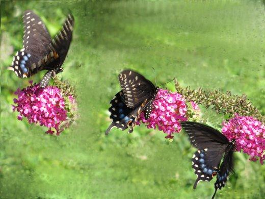 swallowtailcombo