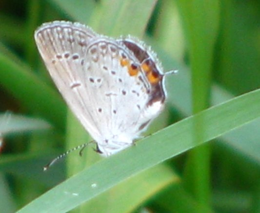 smallbfly