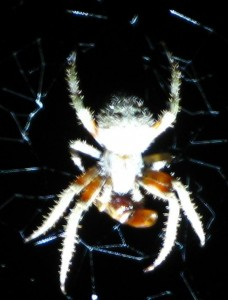 spiderwithpreycloseup