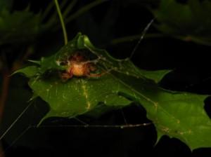 spiderinatrap