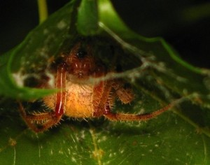 spiderintrapcloseup