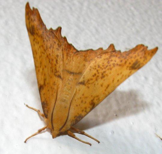 leafmoth2