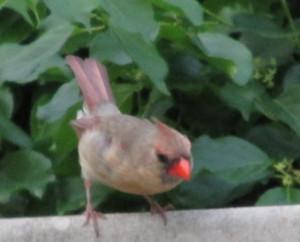 cardinalfemale2