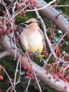 waxwing4bloggy