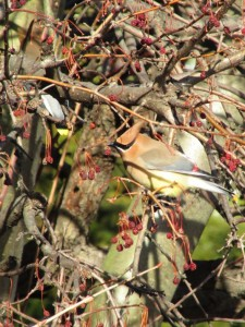 waxwing5bloggy