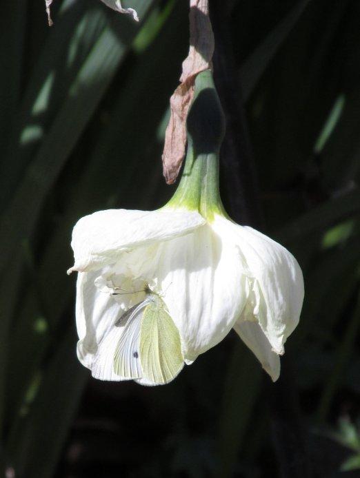 cabbagewhite