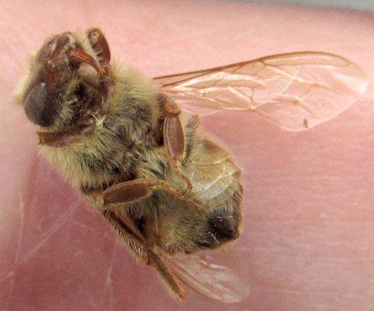 beespecimen