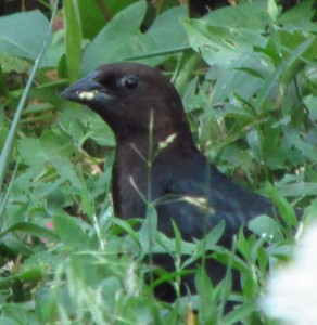 blackfinchhuh