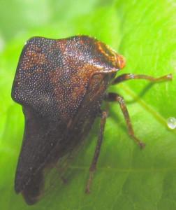 leafhopper4
