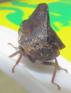 leafhopper6