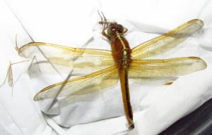 dragonflyfound1