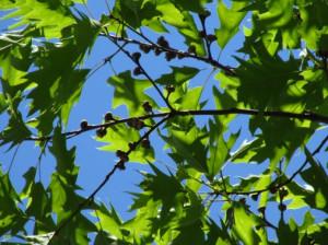 oaksummer
