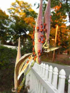 milkweedbugs1