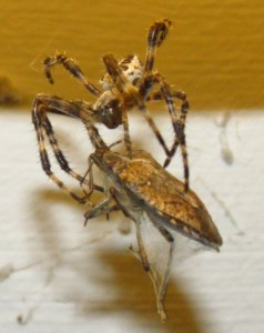 spidernstinkbug