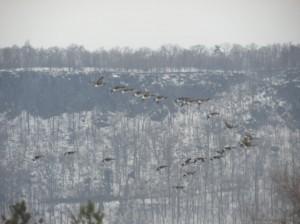 geeseflyingnorth