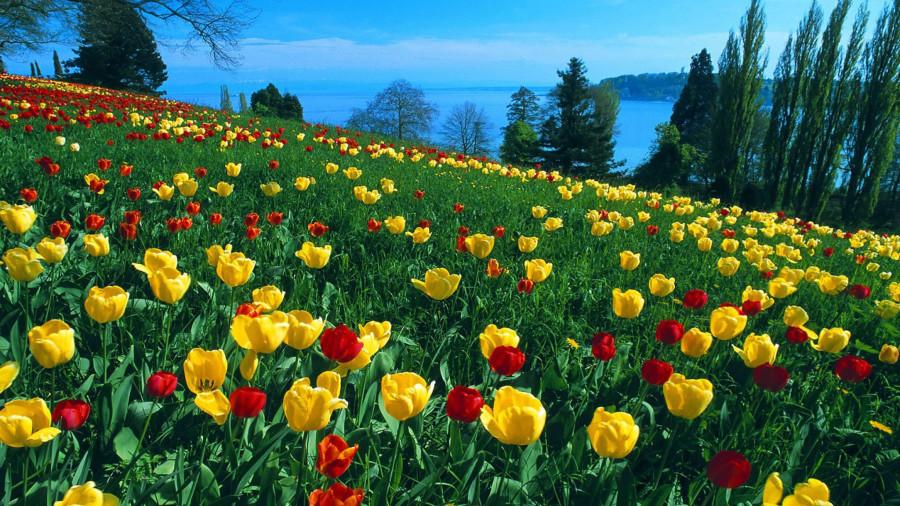 Дикие тюльпаны2