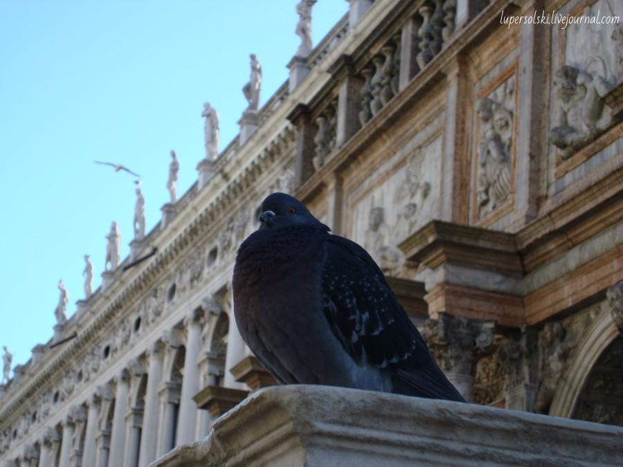 гордый голубь