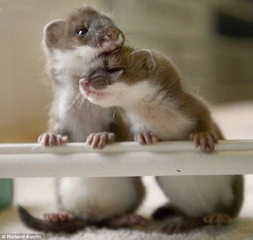 baby stoat 1