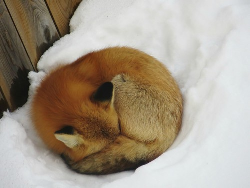 fox by fence 3
