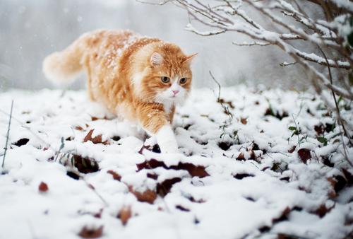 snow tabby 3