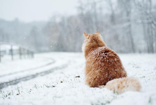 snow tabby 4