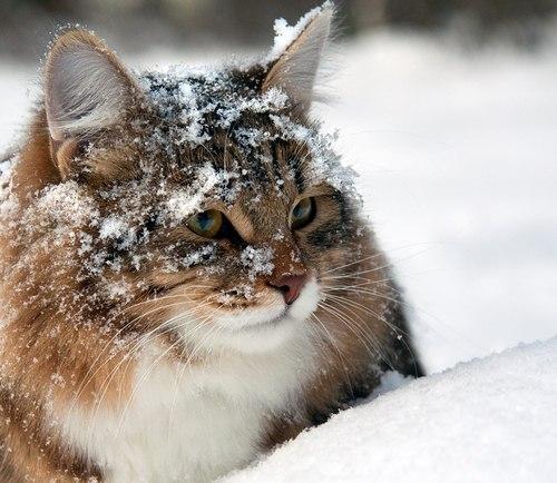 snow kitty 8