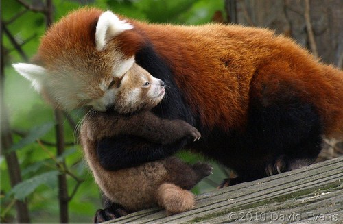 mom hug red panda