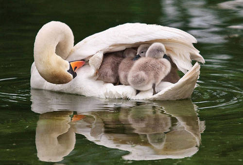 mom carry swan