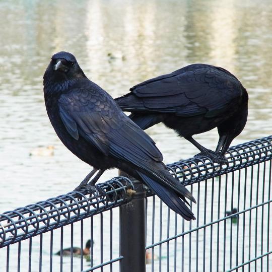 crow buds 1