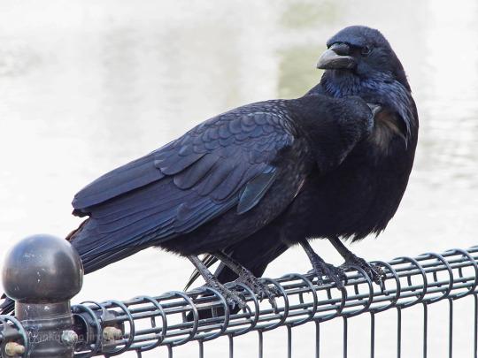 crow buds 2