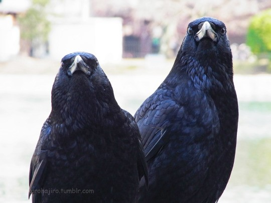 crow buds 4