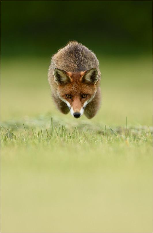 hover fox