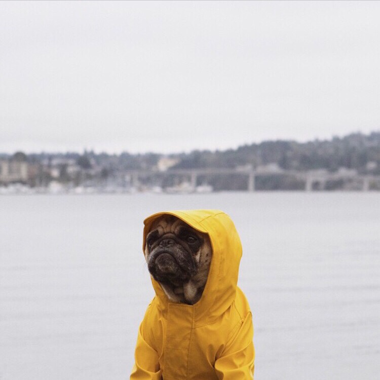 raincoat pug
