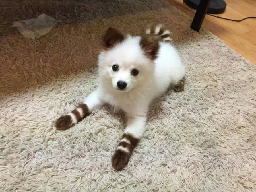 stripe pup 1