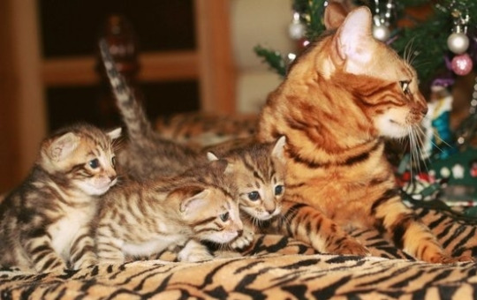 christmas cat family