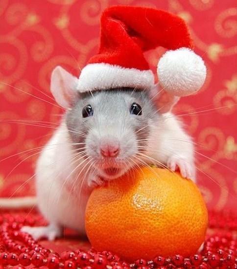 santa rat