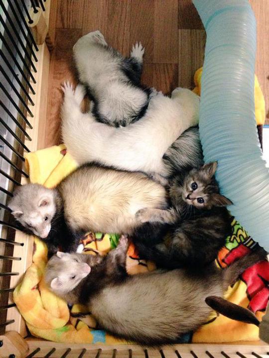 cat and ferrets 3