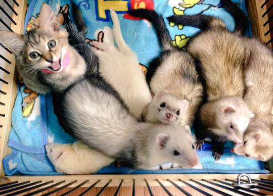 cat and ferrets