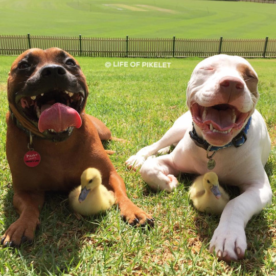 pittie and duckling 1