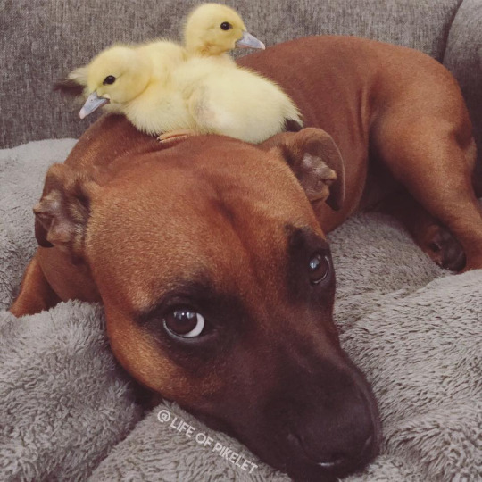 pittie and duckling 2
