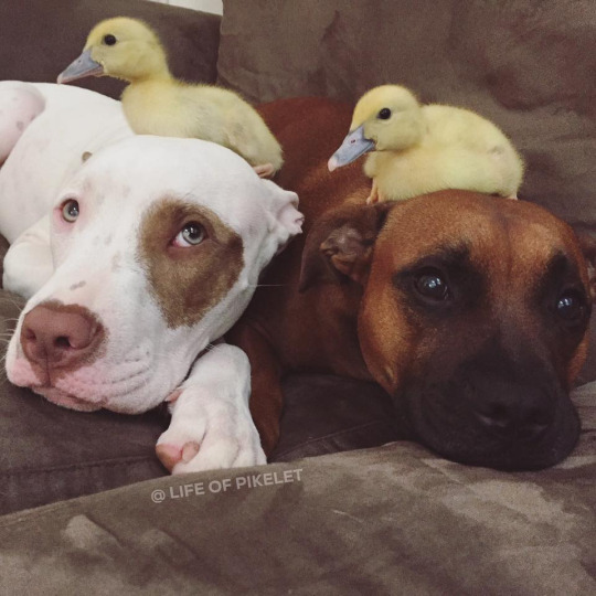 pittie and duckling 3