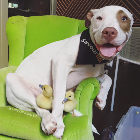 pittie and duckling 4