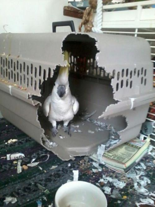 cage burster bird