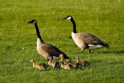 goose birbs