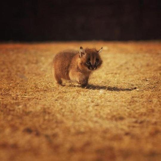 caracal kitten 1