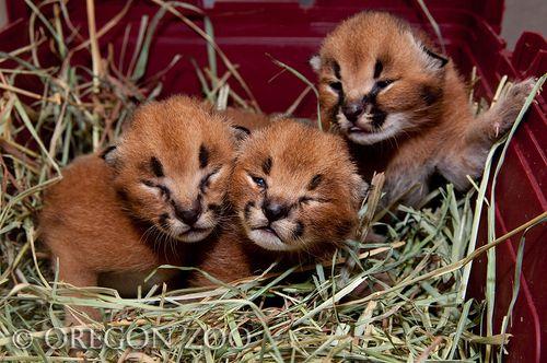 caracal kitten 2