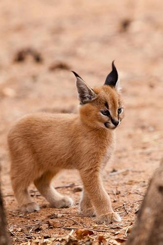 caracal kitten 3