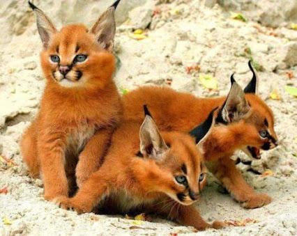 caracal kitten 4